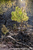 A young pine tree sends out green shoots as if thumbing its nose at the destruction. (Anoop Negi) Tags: road trees portrait india tree pine forest fire photography for photo shimla media delhi indian bangalore creative photojournalism best hills burning needle jungle indie po needles mumbai fires anoop indien himalayas journalism cones inde negi インド dagshai rajgarh 印度 índia solan הודו 인도 ezee123 độ intia الهند salogra ấn هندوستان индия індія بھارت индија อินเดีย jjournalism ינדיאַ ãndia بھارتấnđộינדיאַ indiã