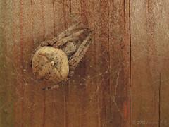 Una araña (Araneus angulatus) (Joaquim F. P.) Tags: adaptador adapter arachnida araneido araneusangulatus arthropoda artrópodo arácnido cataluña dcr250125mm8d2g3e fauna junio naturaleza p300 primavera spider vilaseca raynox spidersilk spiderweb telaraña parque nikon araña arachnid animal jfp catalunya tarragona macro fotografia compact creativecommons camera fotomacrografía macroextremo macrophotography joaquimfp aracnido lapineda costadorada salou costadaurada naturalista fotografianaturalista mediterranean goldencoast extreme closeup