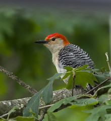 Red-bellied Woodpecker 8 (Diane G. Zooms) Tags: woodpecker redbelliedwoodpecker coth thegalaxy specanimal coth5 birdperfect ringexcellence dblringexcellence tplringexcellence eltringexcellence elringexcellence sunrays5
