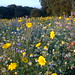Wild Flower Meadow 1 Woodthorpe Park NottsWT (cpt Sally Smith)