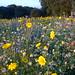 Wild Flower Meadow 1 Woodthorpe Park NottsWT (cpt Sally Smith)