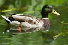 You can put it on my bill! (Ten2Ten) Tags: canon eos duck pond 7d mallard ef mkii 70200l f28l lr4