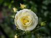 Rose 12.06.2012