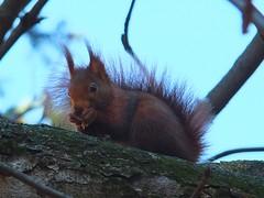 Ardilla (Patataasada) Tags: naturaleza tree nature animal rodent squirrel branch rbol rama ardilla roedor vision:outdoor=0954