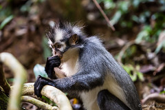 Thomas Leaf Monkey 4672 (Ursula in Aus (Resting - Away)) Tags: animal sumatra indonesia unesco bukitlawang gunungleusernationalpark earthasia sumatrangrizzledlangur thomasslangur presbytisthomasi thomasleafmonkey