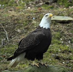 Northern bald eagle (margo2017) Tags: philadelphia zoo spring eagle bald northern 2014