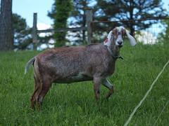 Silverton (wrj95) Tags: field big farm goat ears pasture nubian purebread