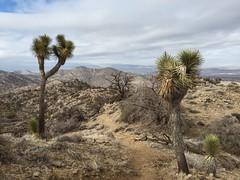 Yucca Valley / Joshua Tree (b.new.man.) Tags: california west tree desert joshua going southern socal valley yucca