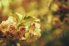Romantic moment (m.sukhanenko) Tags: flower love film nature iso200 leaf focus soft bokeh blossoms olympus romance innocence analogue zuiko cherrytree yellowfilter purity loveisintheair om40 fujifilmsuperia romanticmoment olympusom40 zuikof1850mm