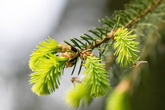Neue Triebe - new sprouts (ralfkai41) Tags: macro tree nature outdoor natur makro bume spruce fichte nadeln jungetriebe greensprouts europeanspruce