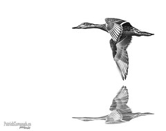Smoke on the Water (Pat Kavanagh) Tags: blackandwhite composite flying duck flight waterreflection