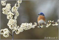 More Bluebirds (with blossums though..) (Earl Reinink) Tags: blue ontario bird spring nikon earl bluebird blossums easternbluebird nikond5 earlreinink reinink rroutdodra