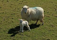 Something Old, Something New (RoystonVasey) Tags: wales canon happy eos sheep zoom m valley lamb 1855mm stm snowdonia cwm aberdovey aber ewe snp dyfi maethlon