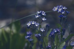 """I was waiting for the longest time, she said. I thought you forgot.  It is hard to forget, I said, when there is such an empty space when you are gone."" (ggcphoto) Tags: blue forgetmenot storypeople kindofblue brianandreasquotes litleblueflowers"