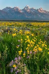 Tetons and wildflowers (greggohanian) Tags: wildflowers grandtetons tetons antelopeflats balsamroots