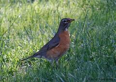 Robin (mariajensenphotography) Tags: robin birds coquitlam