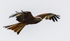 Red Kite (rogerbo69) Tags: nature animals tiere wildlife vgel byrd
