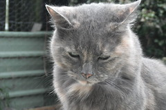 Matilda (1 of 2) (~ MCJ) Tags: cat matilda 10yo greybluecreamtortoiseshell