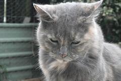 Matilda (1 of 2) (Matilda&Charlie&Josie ~ MCJ) Tags: cat matilda 10yo greybluecreamtortoiseshell