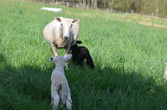 Serenity and twins (Sheeps and Peeps Farm) Tags: 919 1617 ewe borderleicester 1616 ewelamb inthepasture ewesandlambs