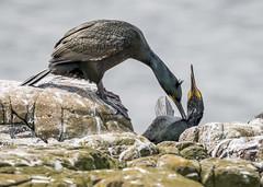 That's the spot (G&R) Tags: england birds canon islands unitedkingdom northumberland northumbria shag farne seabirds 7d2