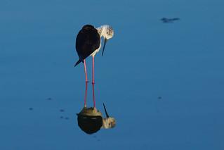 Blackwinged stilt 2012_04 [Explored 2016-05-20]