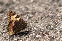 BrownButterfly (NikonTreeMonkey) Tags: nature butterfly insect wings outdoor sommer natur insekt schmetterling flgel