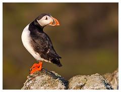 DS0D5827-Puffin (duncancooke.happydayz) Tags: uk sea nature birds wildlife may puffin british puffins isle arctica fratercula distinguishedbirds naturesgreenpeace