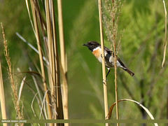 Siberian Stonechat (Saxicola maurus) (gilgit2) Tags: pakistan birds fauna canon geotagged wings wildlife feathers tags location species tamron category avifauna ghizer saxicolamaurus gilgitbaltistan imranshah canoneos7dmarkii gahkuch siberianstonechatsaxicolamaurus tamronsp150600mmf563divcusd gilgit2