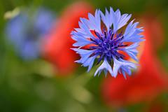 o.T. (joachim.d.) Tags: blue red green rot nature spring natur grn blau cornflower kornblume frhling mohn freundlich