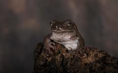 White Tree Frog (6366) (Mark Abel) Tags: wildlife amphibians whitetreefrog 7d markabel
