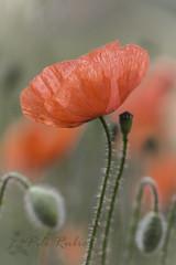 Papaver rhoeas (PILIRUBIO) Tags: desafioafz160601 ltytr1