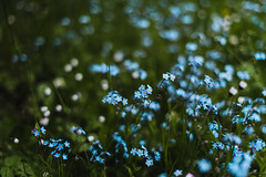 Forget-me-not (minu_minu) Tags: flowers blue nature grass calming tiny forgetmenot
