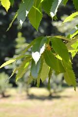 Leaves (bozhin.karaivanov) Tags: camera green leaf sofia location bulgaria nikond3200    parkvrana