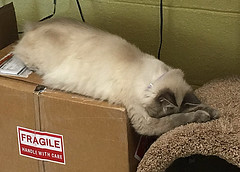 Hurley is asleep in this one (purduebob) Tags: cat kitty hurley
