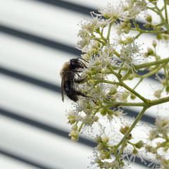 (Ron van Zeeland) Tags: flowers macro animal insect bees insects bee bumblebee hoverfly zweefvlieg hommels