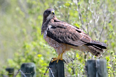Swainson's Hawk (Boreal Impressions) Tags: brown white argentine rodent wings hawk gray flight raptor perch elegant soar hunt birdofprey swainsonshawk buteoswainsoni fencepost greatplains opencountry accipitridae swainsons accipitriformes narrowwings longestmigration