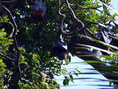 (Mitchell Lafrance) Tags: travel vacation holiday sydney australia botanicalgarden flyingfox 2010