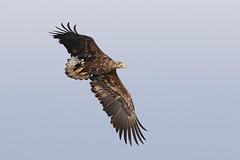 White-tailed Eagle (S.G.Davis) Tags: wild hungary whitetailed subadult