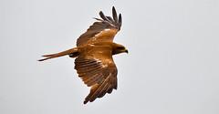 High Flying - Indian Urban Eagle (SRNA PICS) Tags: sky bird flying nikon image outdoor top air ngc astounding astoundingimage
