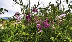 Wild Hedgerow (Tony Tomlin) Tags: flowers britishcolumbia crescentbeach wildflowers blackiespit southsurrey