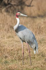 Grulla Sarus (ik_kil) Tags: india birds crane grus grulla saruscrane grusantigone keoladeonationalpark birdsofindia sarus grullasarus rajasthn keolodeo iucnvulnerable antigoneantigone