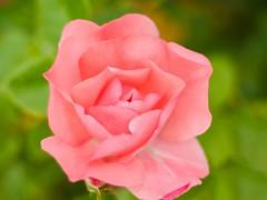 Rosa - Volna-3 (Julin Martn Jimeno) Tags: parque espaa rose mediumformat flora nikon bokeh rosa asturias soviet isabel kiev gijon lentes lenses kiev88 analogic 2016 isabellacatolica volna volna3 oldlenses sovieticas d7000 lentessovieticas