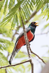 Collared Trogon (arthurpolly) Tags: collaredtrogon trogon avian avianexcellence beautiful birds elements13 eos canon 7dmk2 100400is costarica exotic flickrdiamond holiday impressedbeauty liesure nature natureselegantshots naturesfinest nationpark platinumphoto wild wildlife