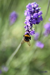 Bumblebee (Dani We) Tags: hummel bumblebee summer sommer lavendel lavander lila
