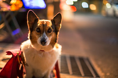 Test Shot (moaan) Tags: street test dog night digital 50mm lights corgi nightlights dof nightshot bokeh utata welshcorgi 2012 f12 testshot firstshot pochiko ef50mmf12lusm canoneos5dmarkiii