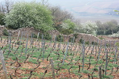 Vignes à Solutré-Pouilly (Christophe Ramonet) Tags: vine vigne solutre solutrepouilly