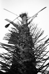 zip-tree (dalioPhoto) Tags: street city nyc blackandwhite bw newyork tree art film vertical analog 35mm blackwhite nikon manhattan utility pole ziptie f4s autaut daliophoto marcdalioall