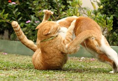 Fight! Fight! (stratman (2 many pix and busy)) Tags: cats kittens orangecats dfp canonphotography littlejoey kittehs oreengenesses thebiggestgroupwithonlycats eos60d friendsofzeusphoebe ef70300mmf456lisusm