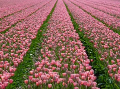 A pink dream - For Maria, who loves pink tulips! (Frans.Sellies) Tags: pink flowers flower holland netherlands landscape geotagged tulips nederland explore tulip fields paysage flowerfields keukenhof tulpen zuidholland tulipan lisse tulipanes bollenveld tulipfields bollenvelden bloembollen explored тюльпан sassenheim bloembollenvelden p1460064 geo:lat=5225036423500747 geo:lon=4534137452734399 flickr7109985063